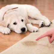 سگ سفید ناراحت به خاطر دستشویی روی فرش