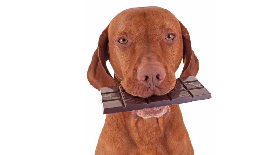 شکلات-برای-سگ
