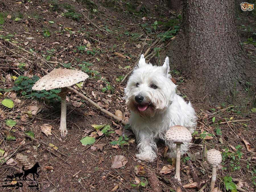 غذاهای ممنوعه سگ قارچ را هم شامل می شود ؟