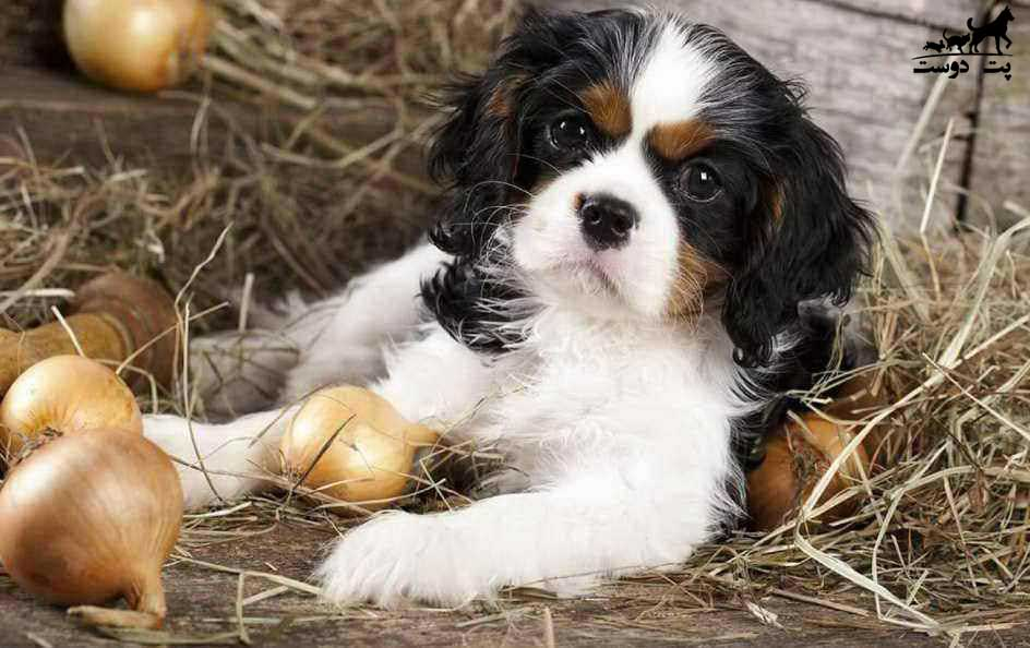 پیاز-و-سیر-برای-سگ