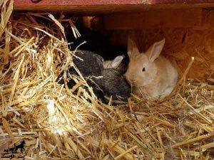 بستر-مناسب-خرگوش