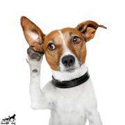 تمیز-کردن-گوش-های-سگ