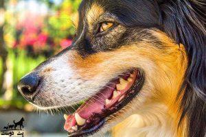 مراقبت-از-دندان-سگ-ها