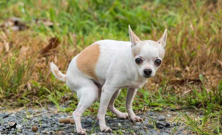 درمان-اسهال-سگ