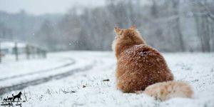 سرمازدگی-گربه-ها