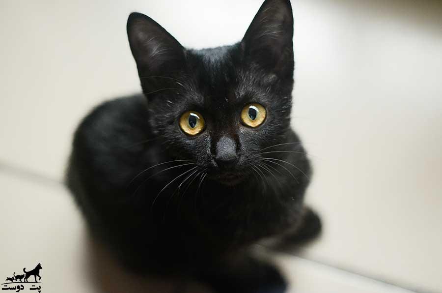 گربه-سیاه