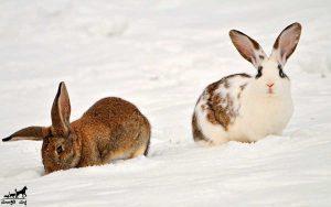 نگهداری-خرگوش-در-زمستان