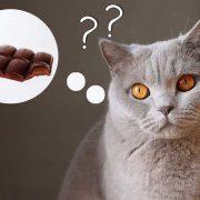 شکلات-برای-گربه