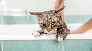شستن گربه