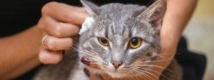 تمیز کردن گوش گربه