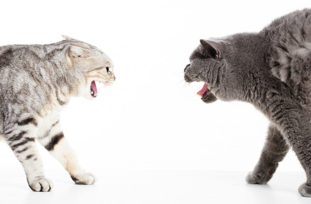 دعوای گربه