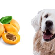زردآلو برای سگ