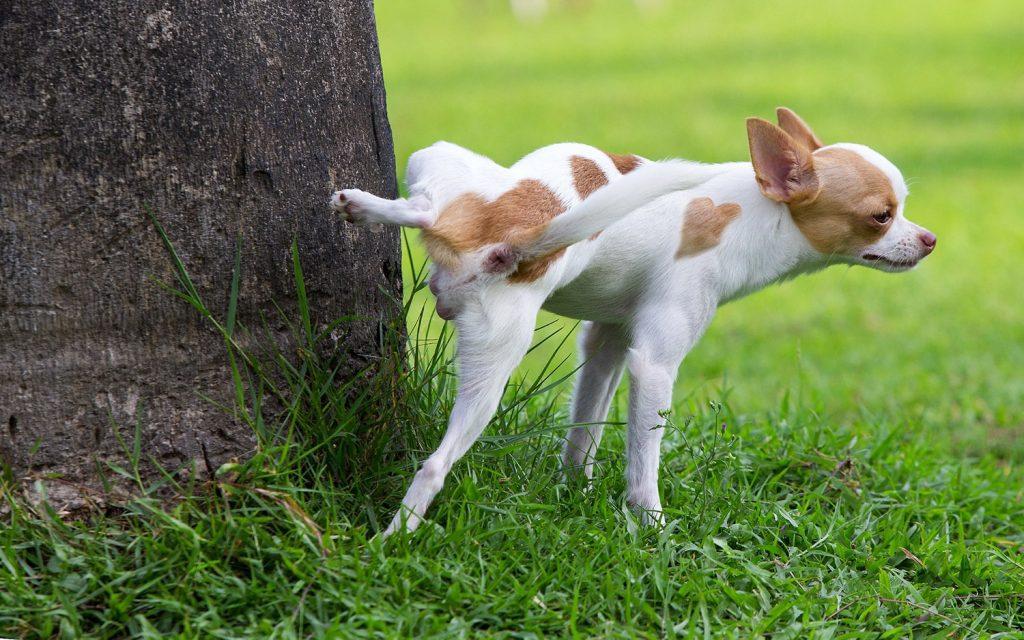 ادرار خونی در سگ ها