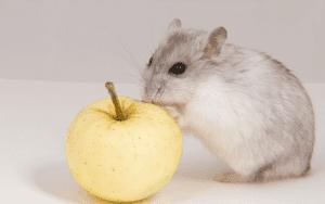 سیب برای همستر